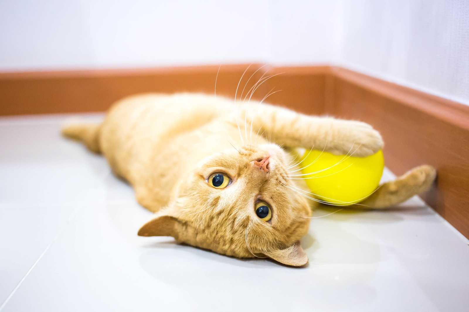 Orange tabby kitten lying down playing with yellow ball on floor