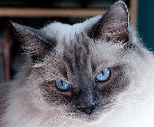 ragdoll with bright blue eyes