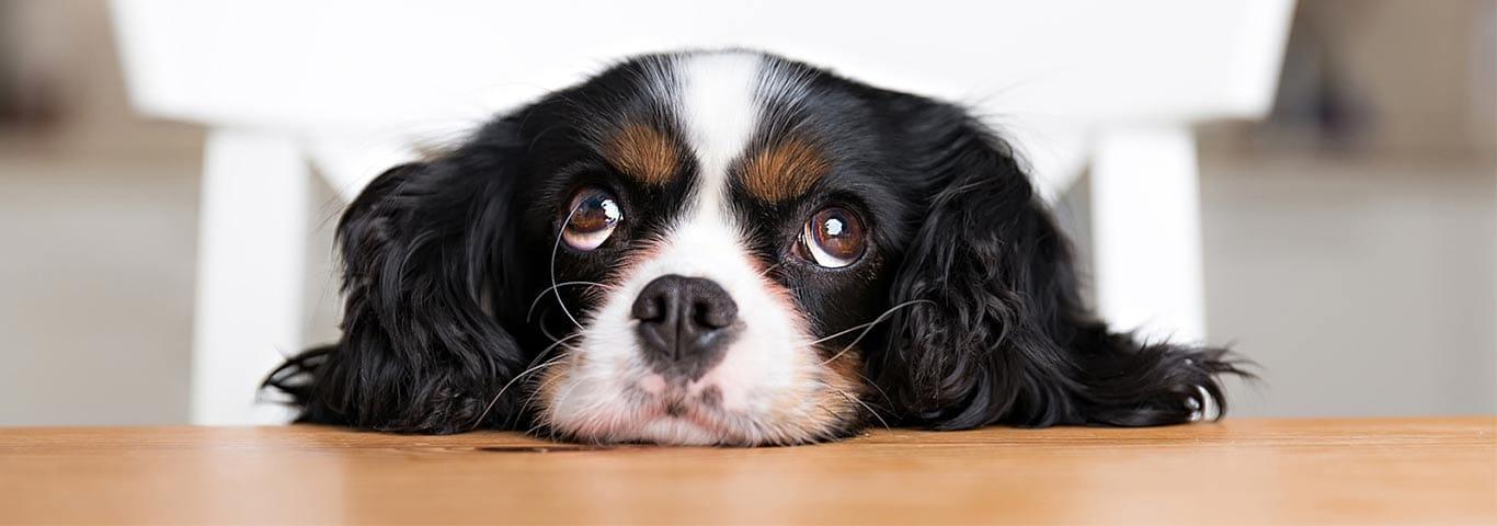 dresser son chien pour ne pas aboyer